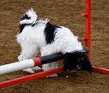 More Tibetan Terriers
