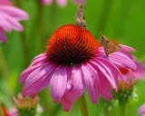 Cone Flower Face-off