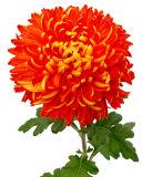 Long Island Chrysanthemum Society
