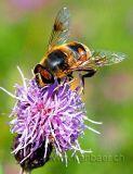 Biene / Bee (5208)