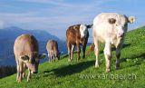Kuehe / Cows (8324)