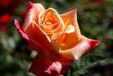 Rose (5614)