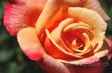 Rose (5607)