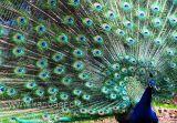 Pfau / Peacock (3400)