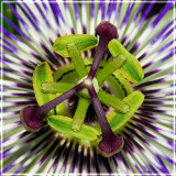 The Heart of A Passion Flower