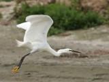 Egretta garzetta - Aigrette Garzette - Little Egret