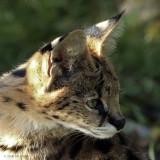 Leptailurus serval (serval)