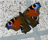 BASKING PEACOCK BUTTERFLY