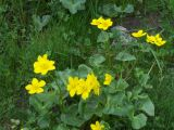 Giant buttercups