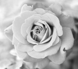 rose_BW_01.jpg