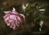 The Last of the Summer Roses