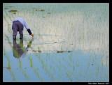 Planting Rice (Japan)