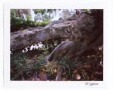 alligator tree