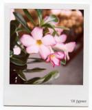 desert rose 680