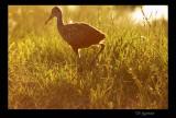 limpkin chick at dusk