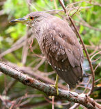 The Young Black-Crowned Night Heron geting a little spooked !