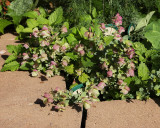 Ornamental Oregano (Tag #606)