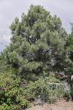 Ponderosa Pine #106 (9591)