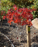 Royal Purple Smoke Tree #425 (9907)