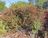 Green Barberry #434 (9960)