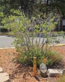 European Spindle Tree (Tag #430)