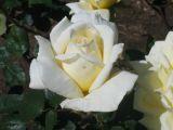 White rose bud  spring 2006