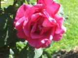 beautiful rose spring 2006