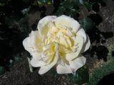 Peace rose spring 2006