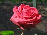 Light red rose spring 2006