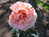 Pink rose spring 2006