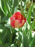 a hidden tulip