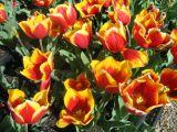 orange-yellow tulip
