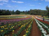 tulip fields in monbulk, victoria