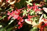 Tropaetalum speciosum