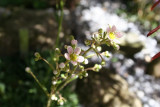 Ranunculus parnassifolius