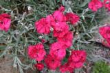 Dianthus Carina
