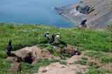 Puffins of Skomer Island