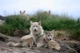 Sledge hounds, Illulissat (Greenland)