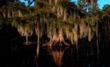 Moss Draped Cypress
