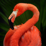 Flamingo at the Audubon Zoo - New Orleans