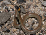 Red-naped snake, Furina diadema