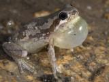 Bleating Tree Frog, Litoria dentata