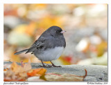Junco ardoisé - Dark-eyed junco