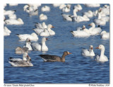 Oie rieuse  Greater White-fronted Goose
