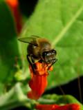 10-2005 Bee on Flower.JPG