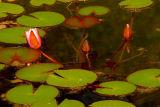 Waterlily 3.jpg