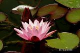 Lily Flower and Bud.jpg