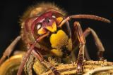 HornetIMG05692.jpg