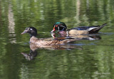 6-14-08 wood ducks_1274.JPG