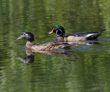 6-14-08 wood ducks_1275.jpg